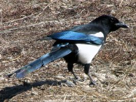Magnus the Magpie by mist-weave