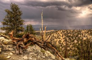 Bristlecone Pines by LeashaHooker