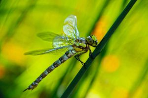 Arising Dragonfly by Youmitori