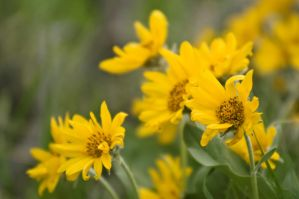 Bighorn Yellow Balsamroot by Corvidae65