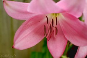 Richly Pink by Elvenred