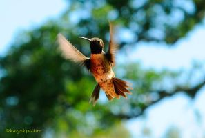 Black Chinned Hummingbird by kayaksailor