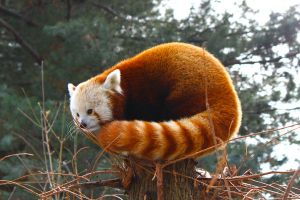 Red Panda by AngelaRizza