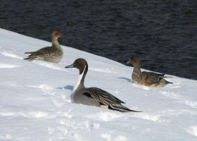 Northern pintails  in the snow by KumaBokko