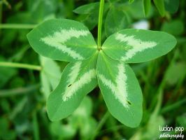 Four Leaf Clover by LucianPhotography