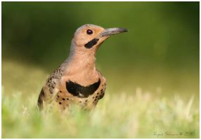 Northern Flicker by Ryser915