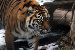 Sumatran Tiger 4 by 8TwilightAngel8