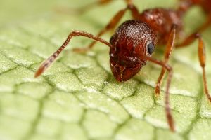 uk red ant at 4.5X by macrojunkie