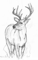deer by Alvin-and-the-wild