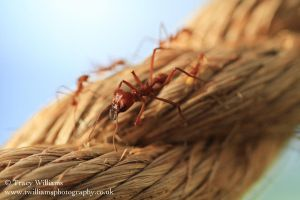 Leaf Cutter Ant Soldier by twilliamsphotography
