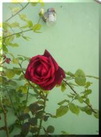 New Red Rose... by Villenueve