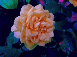 Perfect Rose by Aaron-Jay