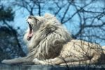 White Lion 4894 by Sooper-Deviant