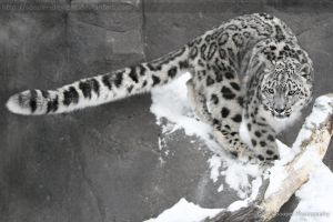 Snow Leopard 2980P by Sooper-Deviant