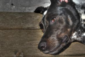 HDR Dog by Accyber