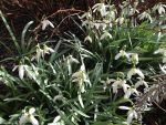 Snowdrops by Gallerica