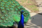 Peacock 6 by silverlakephotos
