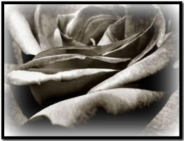 My Black Rose... by ansdesign