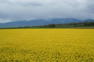 yellow rape fields in france 2 by ingeline-art