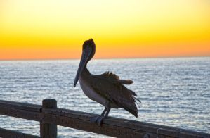 Charlie the pelican by ShannonCPhotography