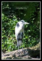 grey heron by declaudi