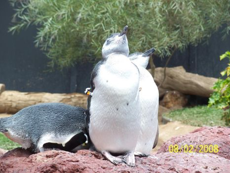 Sea World: Posing Penguins by drago-princess