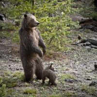 Yes, they're wild grizzlies by IlluminateDissonance