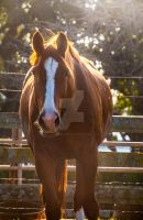 warmblood chestnut horse in afternoon light by dressageart13
