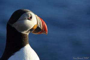 Puffin IV - Close Up by Yinxy