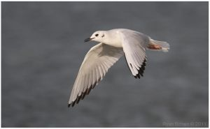 Bonaparte's Gull by Ryser915