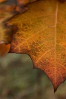 Autumn Leaf by RivalCz