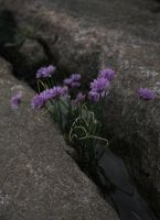 Chives by LadyGreeny