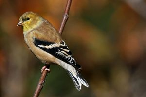 November finch by clippercarrillo