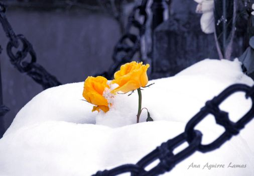 Yellow roses by mocorock