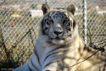 Chalet the White Tiger by PepstarsWorld