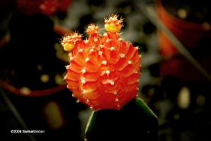 Red Cactus by sarthahirah