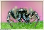 Family Salticidae by RichardConstantinoff