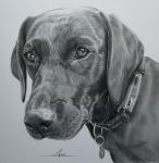 Commission - Labrador 'Annie' by Captured-In-Pencil