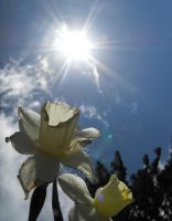 Daffodil in the Sun by Obey-the-soapbubble