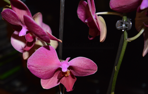Orchid #1 by xXEtienetteXx