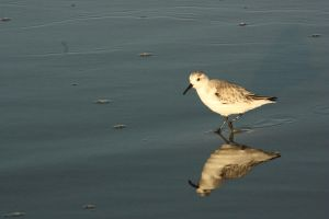 Sandpiper by Breeze97