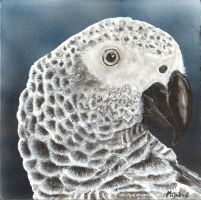 I'm a pretty girl - African Grey by G-SJ