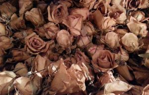 Roses by The-Infamous-TCT