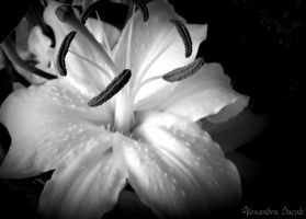 Lily by AlexBlood