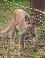 Yuma- young Florida Panther by Aries18o18