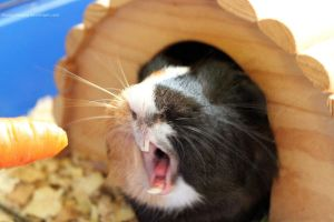 Yawning Guinea Pig by devilguineapig
