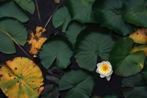 white water lily by FreSch85