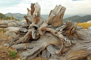 The Wood of the Bristle Cone Pine by Merhlin