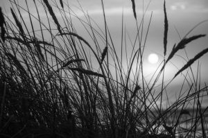Beach grass black and white by sheepranch
