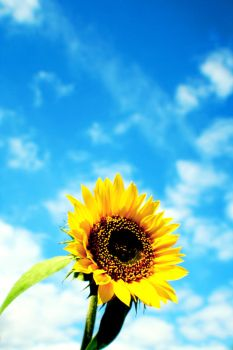 Sunflower in the sky by onlyalive8
